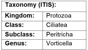 Class Vorticella parasite