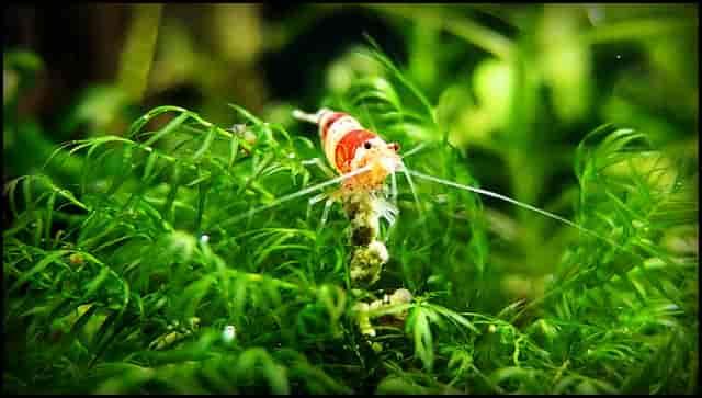 Top 5 Pros and Cons of having Plants in Shrimp Aquarium