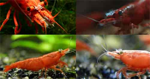 Scutariella Japonica on the shrimp head