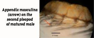 Appendix masculina (arrow) on the second pleopod of matured shrimp male