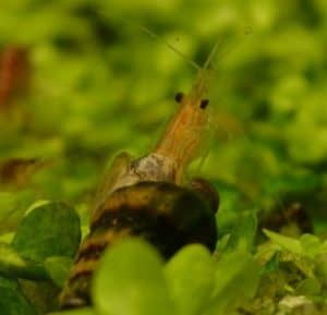 Assassine snail eat shrimp