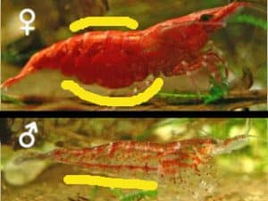Shrimp Gender  Female and Male Difference  - Shrimp and Snail Breeder