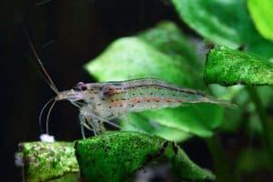 Amano shrimp dots