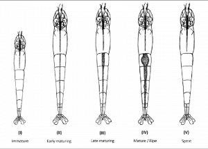 Different-maturity-stages-of-gonads-in-shrimp-five-stages-of-maturity-in-females-of