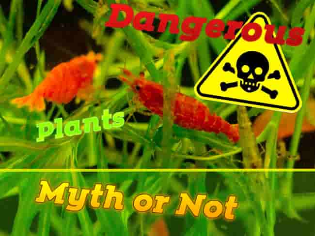 Dwarf shrimp and Dangerous plants myth or not