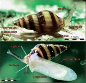 Assassin snail body Structure