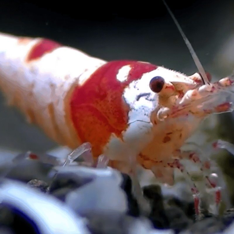 Crystal Red shrimp front