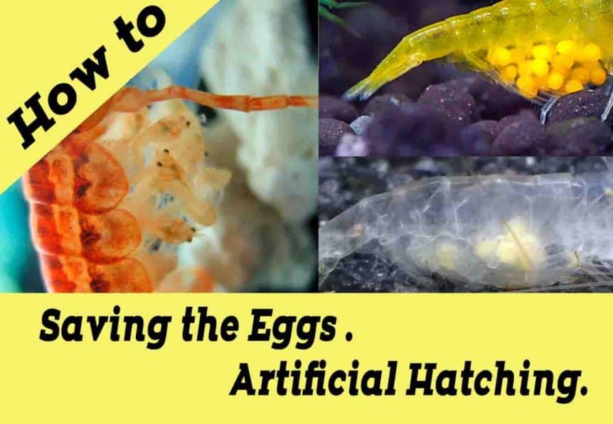 Dwarf shrimp How to save eggs