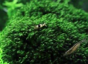 Java moss and shrimp