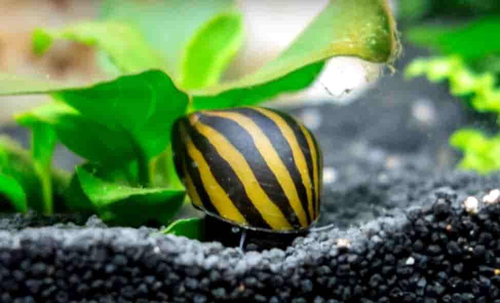 Nerite snail zebra