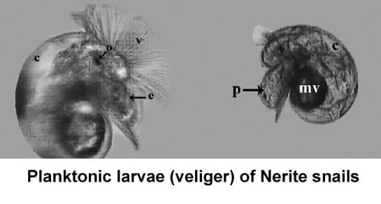 Planktonic larvae (veliger) of Nerite snails