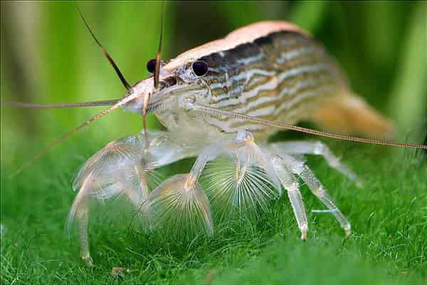 Bamboo  fan shrimp atyopsis moluccensis