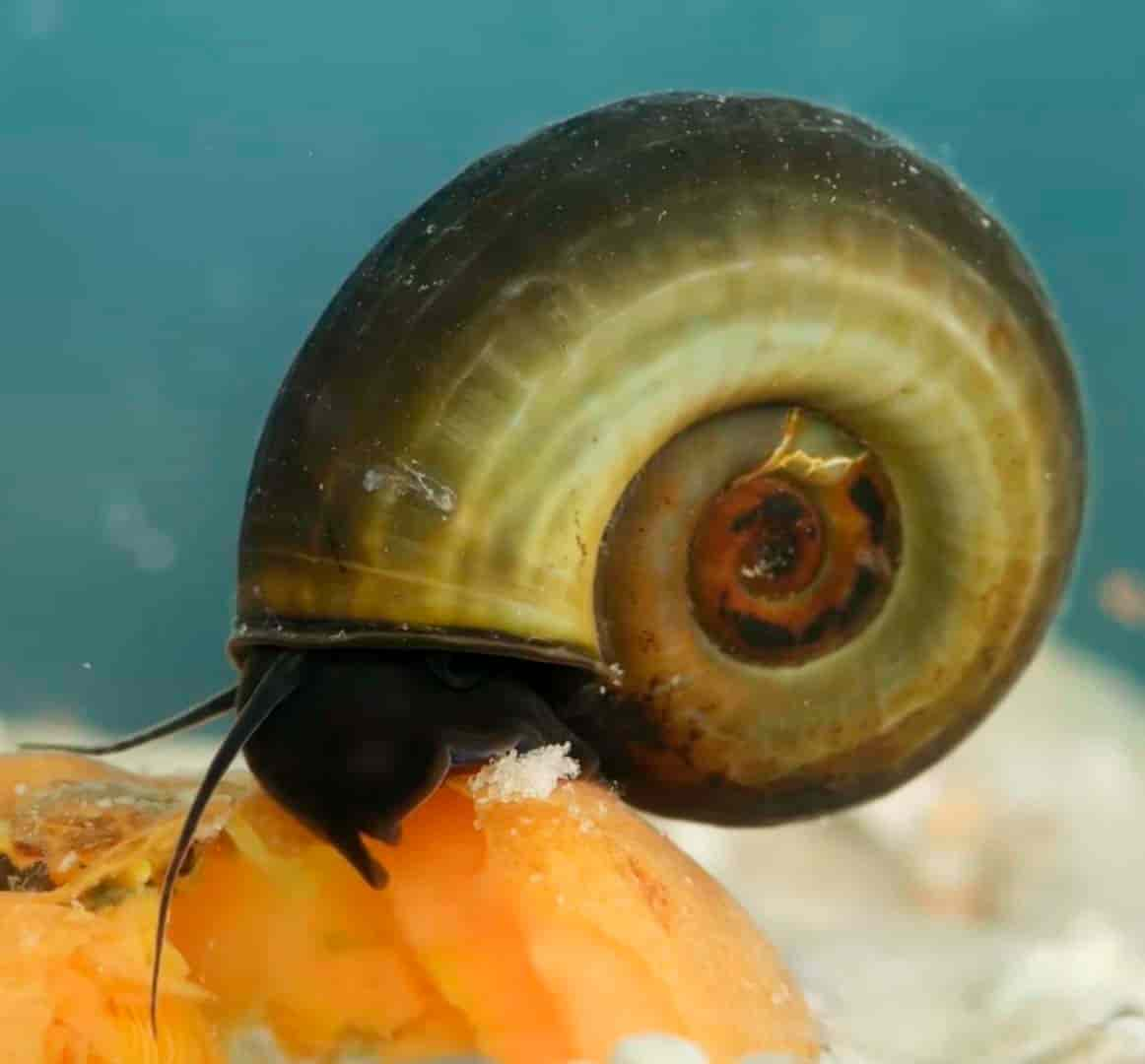 Planorbarius corneus - Ramshorn Snails
