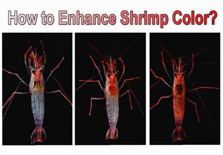 How to Enhance Shrimp Color