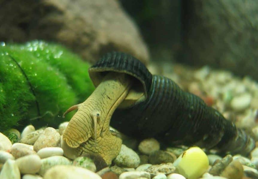 Rabbit Snail - Tylomelania