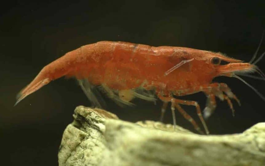 Red Cherry Shrimp – Detailed Guide: Care, Diet and Breeding