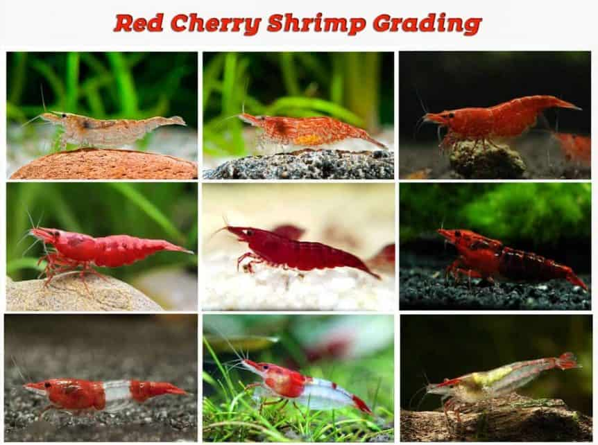 Red Cherry Shrimp Grading (with pictures) - Shrimp and Snail