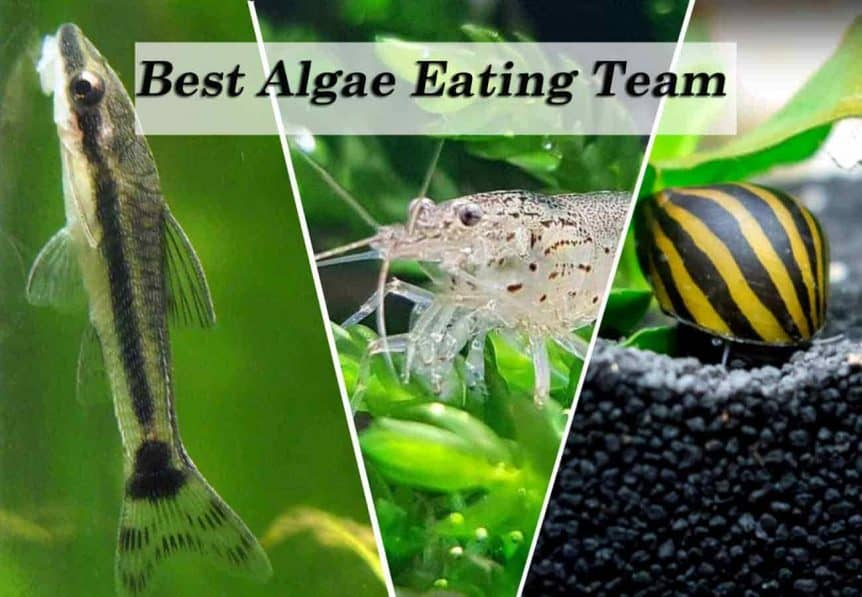 Best algae eaters - Otocinclus fish, Amano shrimp, and Nerite snails