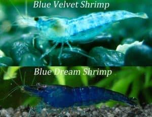 Difference between Blue Velvet Shrimp and Blue Dream Shrimp