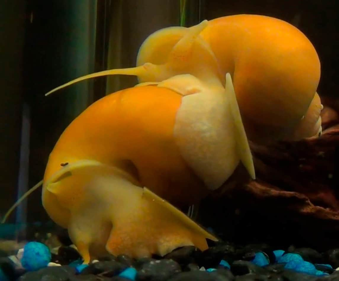 Mystery Snail – Detailed Guide: Care, Diet and Breeding