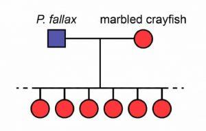 Marbled Crayfish and Crossbreeding цшер Procambarus fallax