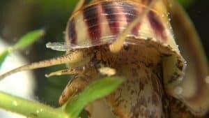 Marisa Cornuarietis Snails Eyes and tentacles