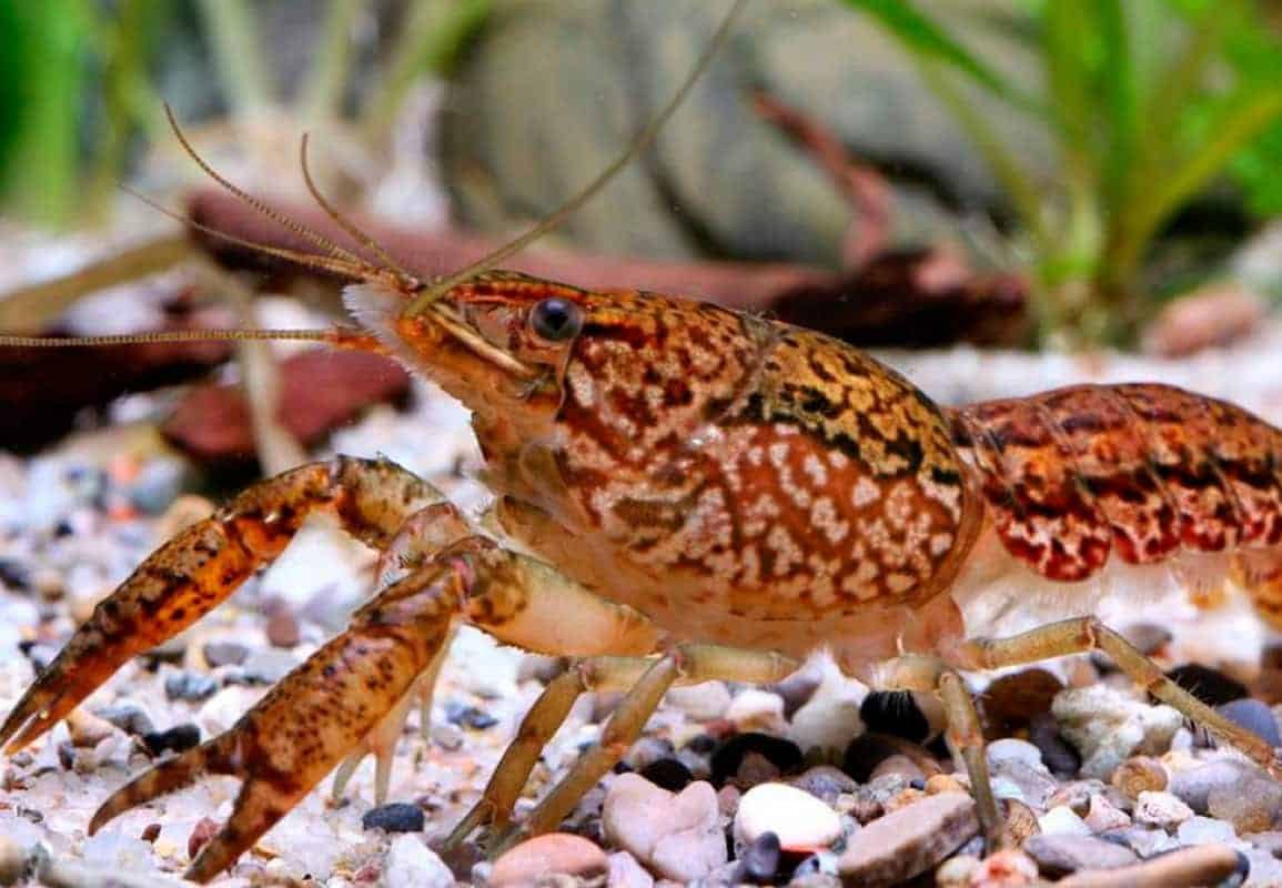 Marbled crayfish guide