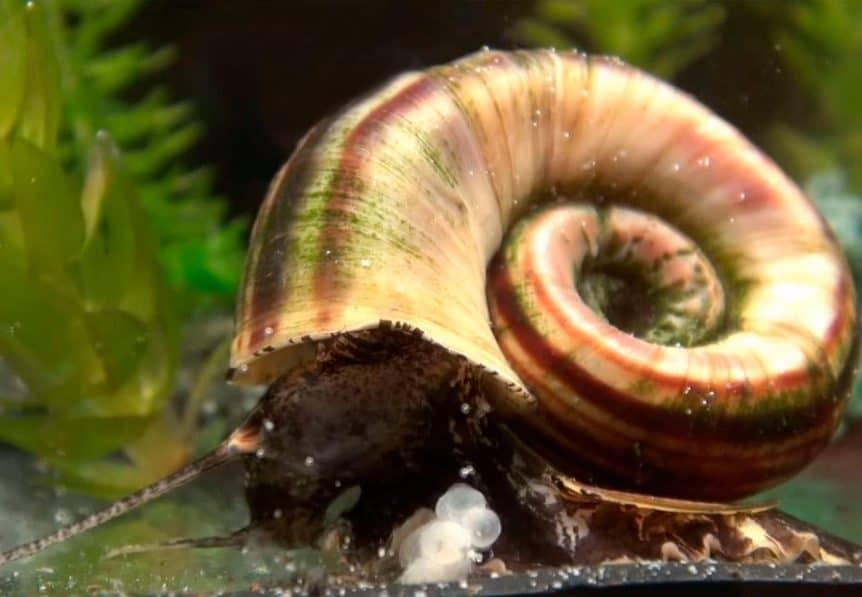 Marisa Cornuarietis Snail – Detailed Guide: Care, Diet and Breeding
