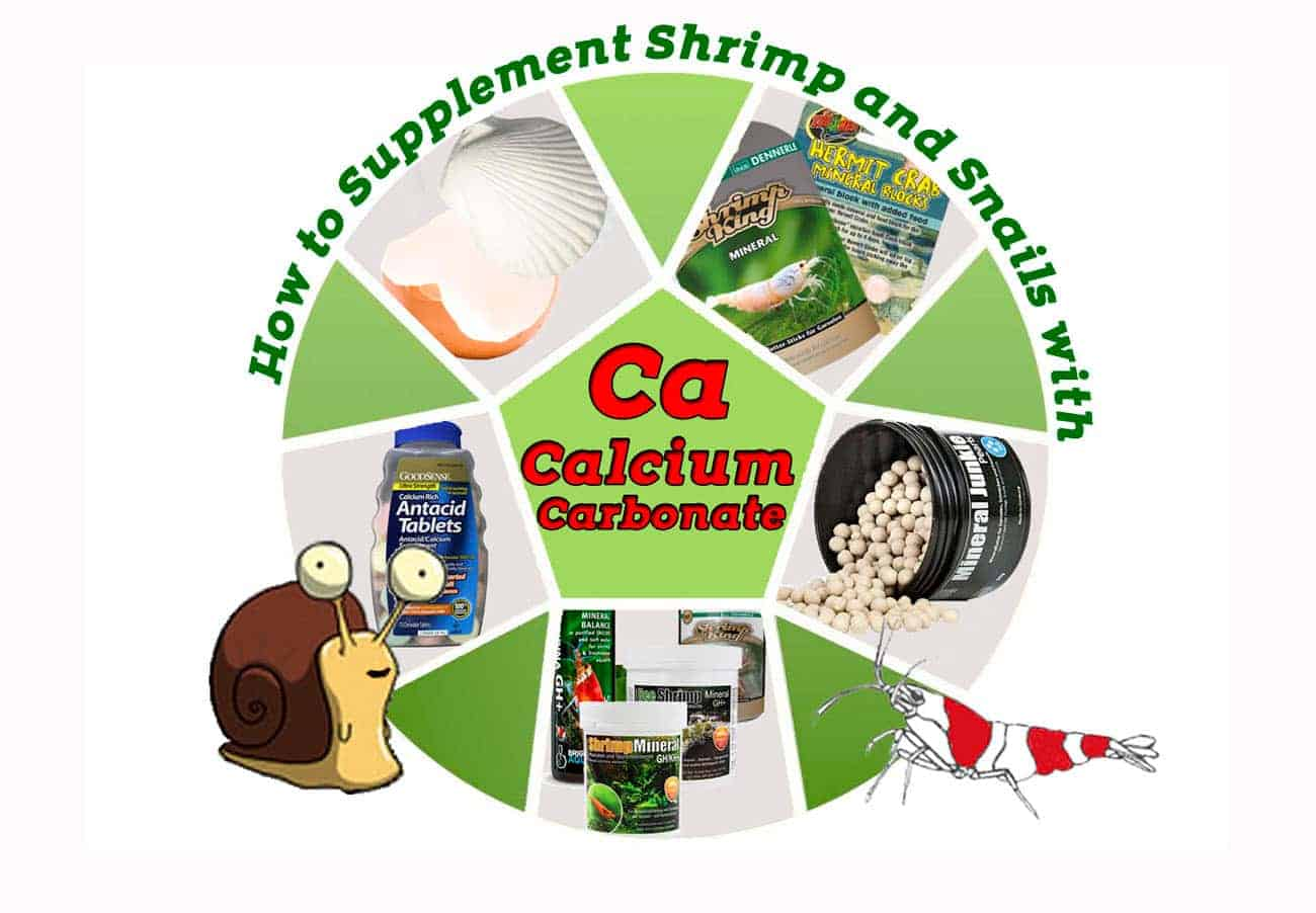 How to Supplement Shrimp and Snails with Calcium