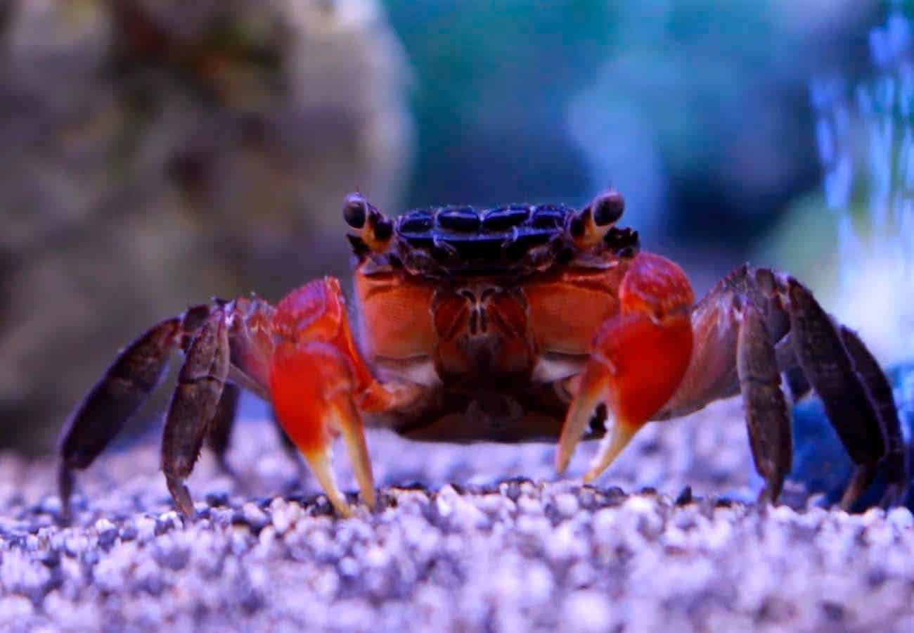Red Clawed Crab (Perisesarma bidens)