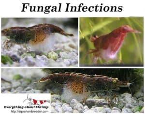 Dwarf shrimp Fungal Infections