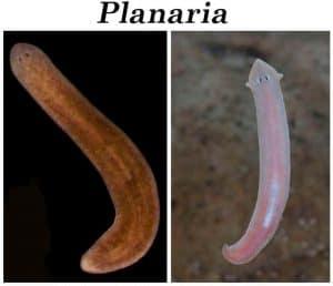 Dwarf shrimp and Planaria