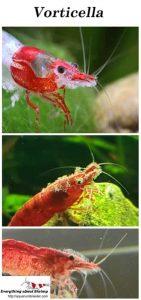 Dwarf shrimp and Vorticella