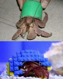 Hermit crab and strange shells