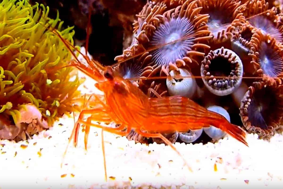 The peppermint shrimp (Lysmata wurdemanni)