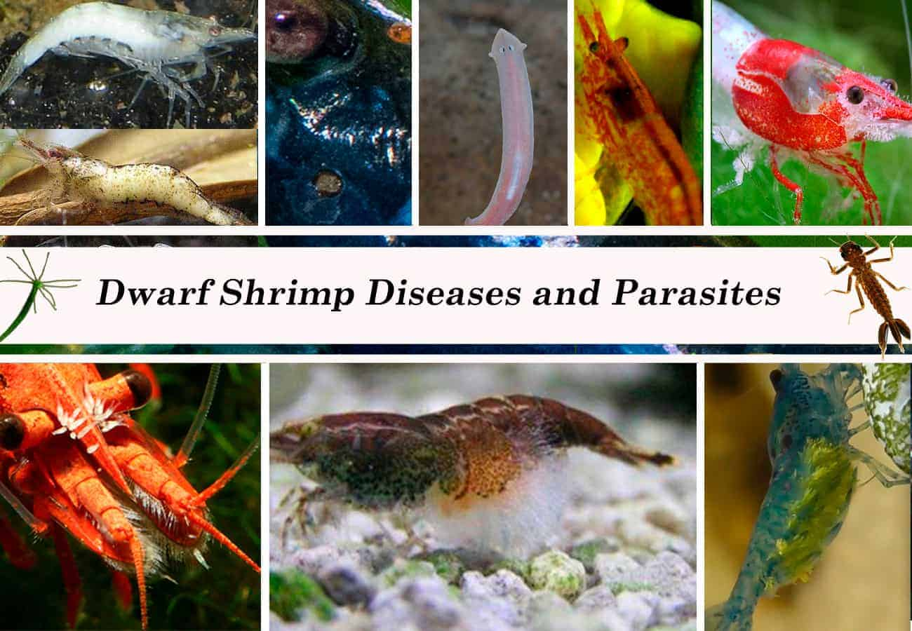 Dwarf Shrimp Diseases and Parasites
