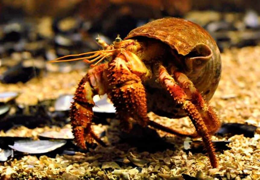 Hermit crab guide