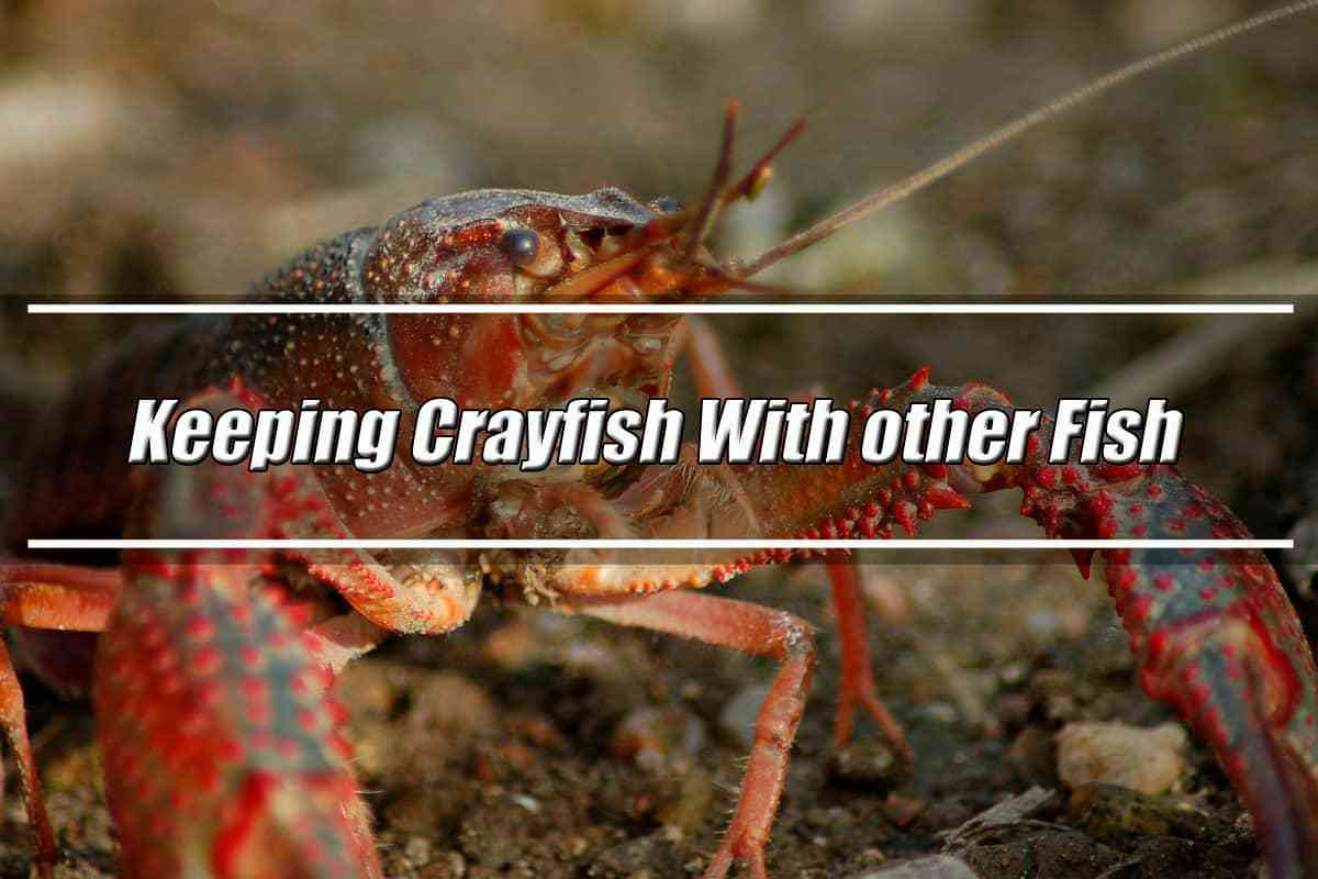 Can You Keep Crayfish With Other Fish