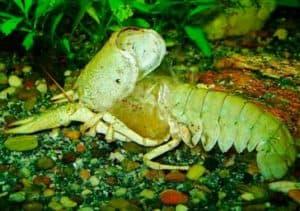 Crayfish empty exoskeleton (shell)