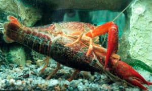 Crayfish mating. Male flips over the female