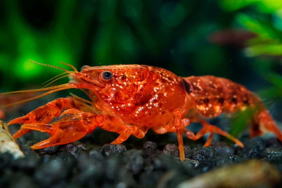 Introduction to the Crayfish Care - Setup, Diet, and Facts