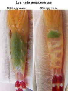 Lysmata amboinensis (Skunk cleaner shrimp) egg mass