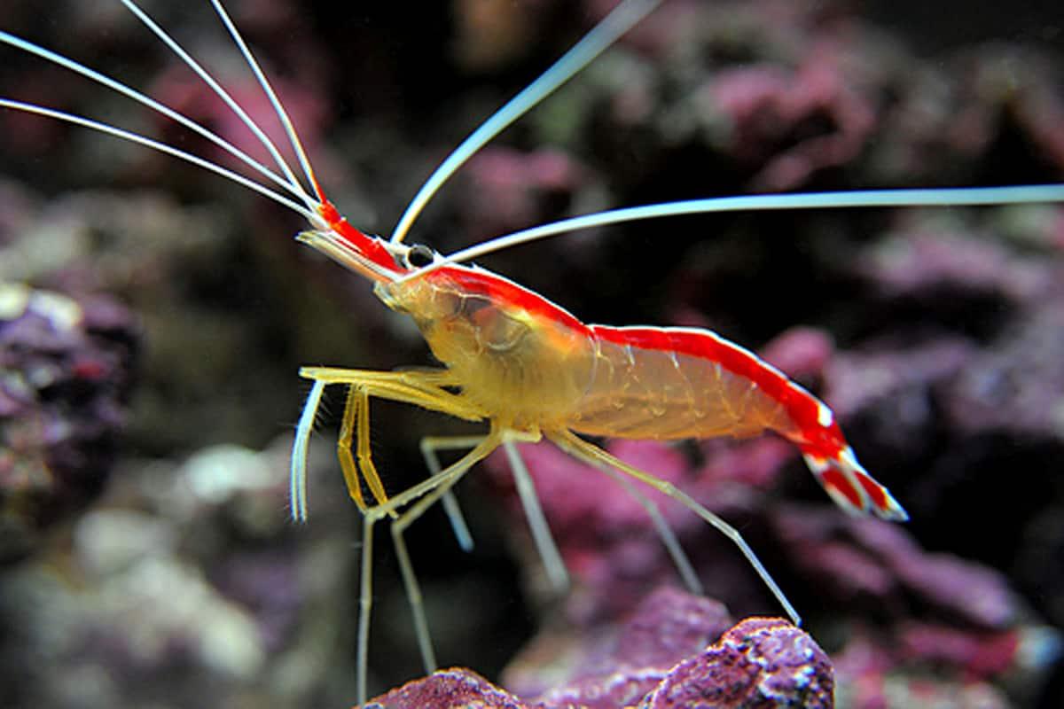Lysmata amboinensis (Skunk cleaner shrimp)