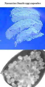 Nassarius Snails egg capsules