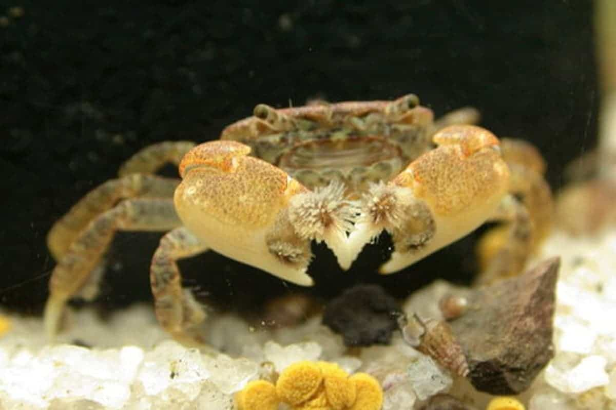 Freshwater Pom Pom Crab (Ptychognathus Barbatus)