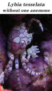 The Boxer Crab (Lybia tesselata) without one anemone