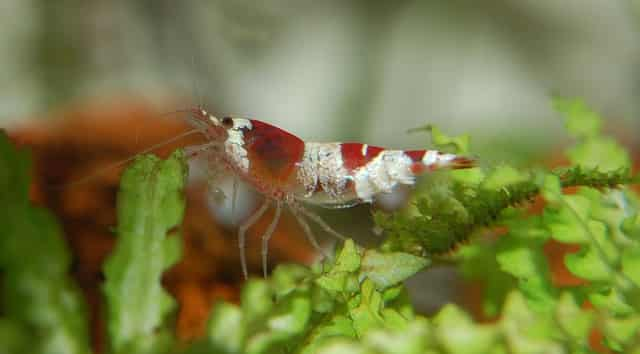 How and What to Feed your Shrimp
