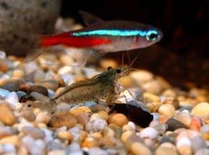 Small tetra fish and shrimp