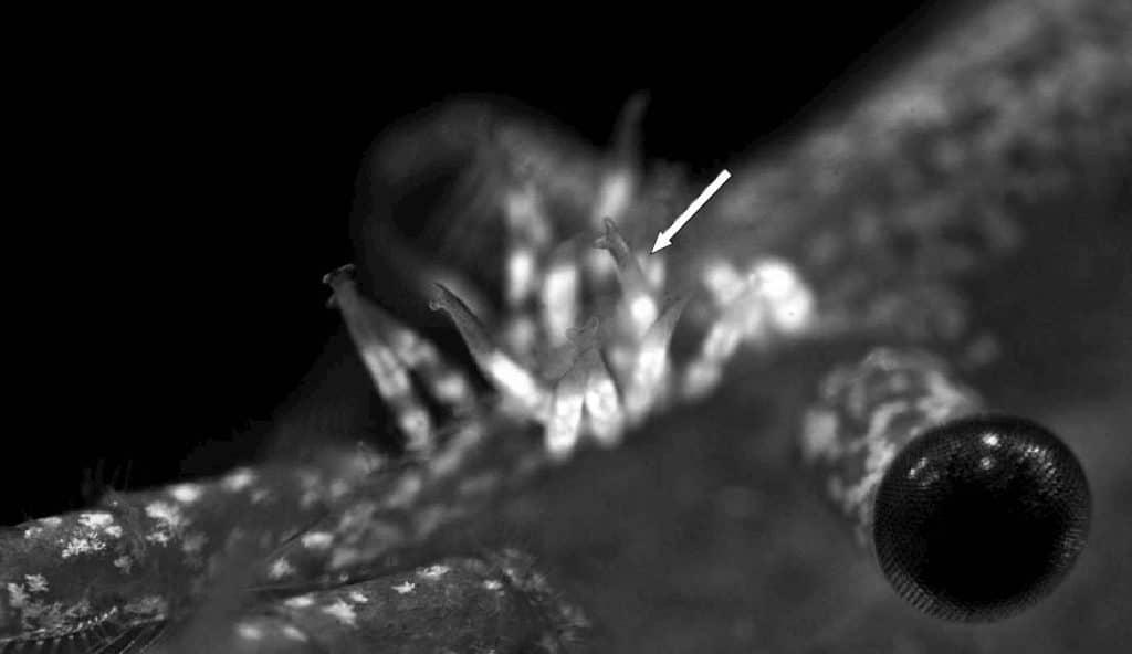 Scutariella japonica adults saddle in Neocaridina davidi rostrum