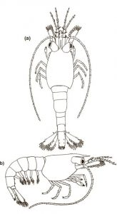 Neocaridina shrimp Carapace on 3d stage